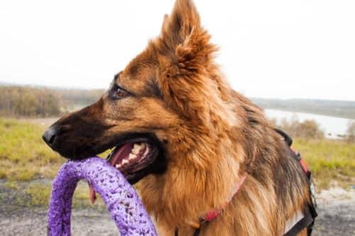 Zdjęcie przedstawia psa rasy owczarek niemiecki. Pies trzyma wpysku zabawkę onazwie Puller, jest tofioletowy krążek służący doaportowania iprzeciągania się zpsem. Wtle widać pola orazjezioro.