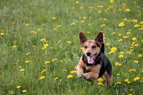 mały brązowo czarny piesek, raczej kundelek, biegający wśród traw imleczy (małych żółtych polnych kwiatuszków)