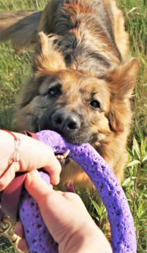Zdjęcie przedstawia zabawę zpsem wprzeciaganie zapomocą zabawki zwanej puller. Puller tofioletowy, piankowy krążek służący doaportu iprzeciagania się.